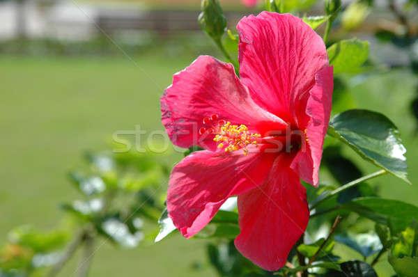 большой красный цветок весны лет Сток-фото © bedo