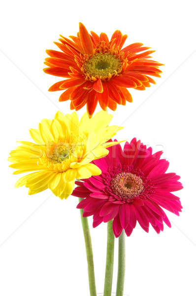 Colorful gerber daisies Stock photo © bedo