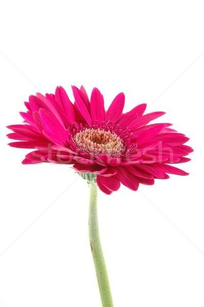 Pink gerber daisy Stock photo © bedo