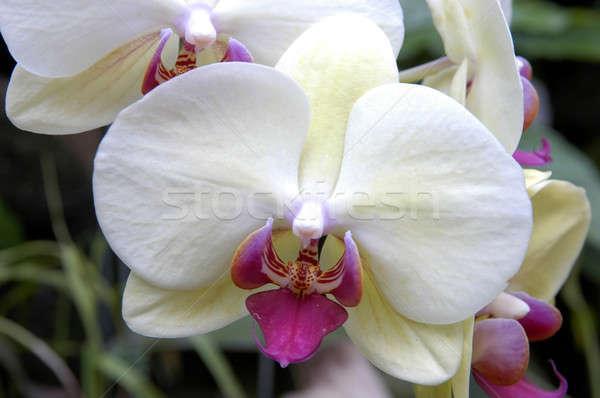 белый орхидеи цветы весны природы Сток-фото © bedo