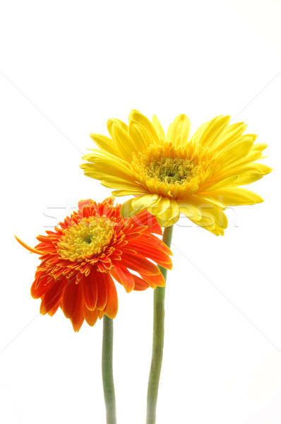 Yellow and orange gerber daisies in isolated white Stock photo © bedo