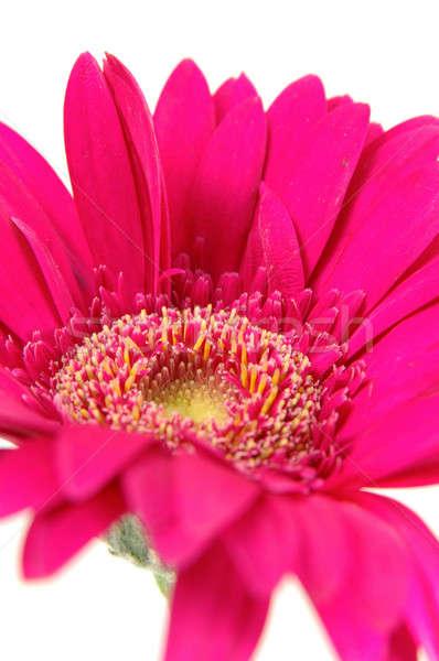 розовый Daisy изолированный белый фон Сток-фото © bedo