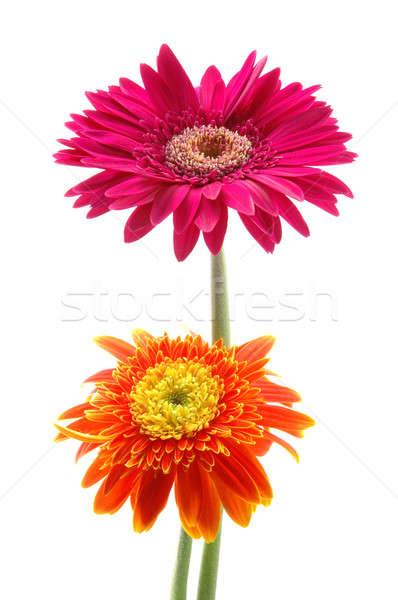 Pink and orange gerber daisies Stock photo © bedo