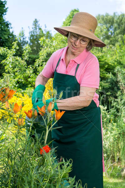Middle-aged woman watering orange lilies Stock photo © belahoche