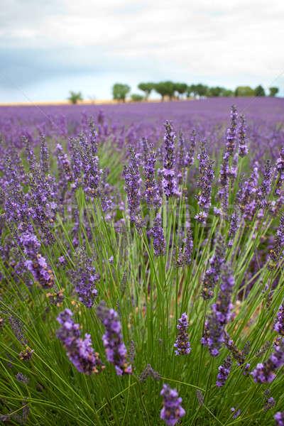 ラベンダー畑 フランス 紫色 木 地平線 行 ストックフォト © belahoche