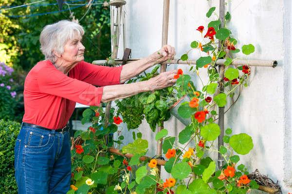 Senior vrouw zorg bloem wijnstok Stockfoto © belahoche