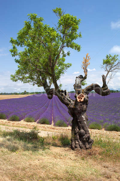 Tree in front of lavender field, Provence, France. Stock photo © belahoche