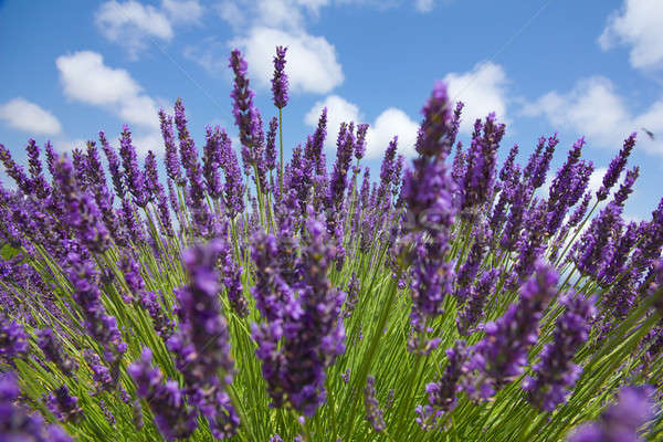 Close up of purple lavender in front of picturesque sky. Sommer  Stock photo © belahoche