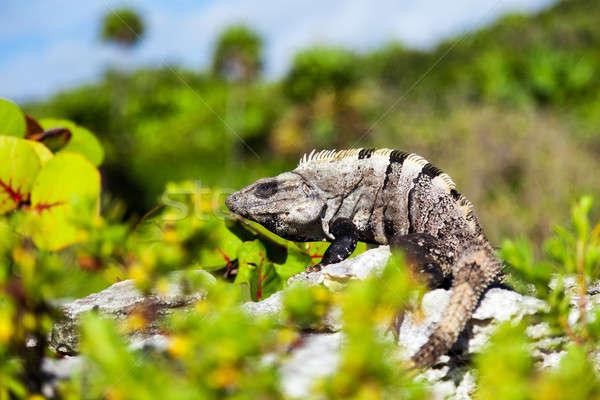Iguana skał rock kolor skóry zwierząt Zdjęcia stock © Belyaevskiy