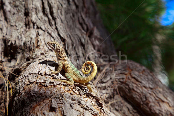 Curly-Tailed Lizard Stock photo © Belyaevskiy