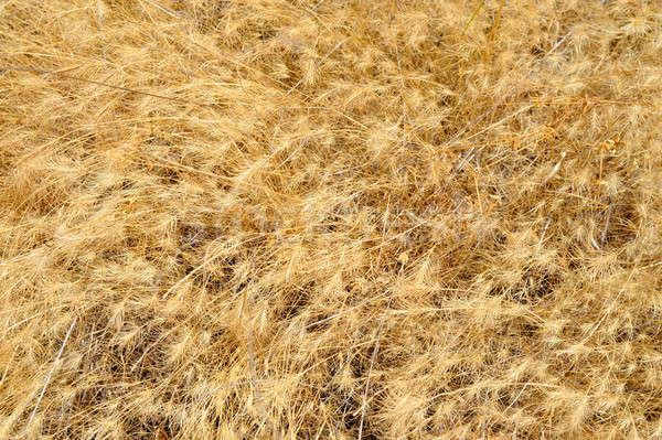 Dried Grasses Stock photo © bendicks