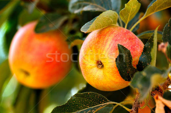 Amarillo verano manzanas rojo manzana listo Foto stock © bendicks