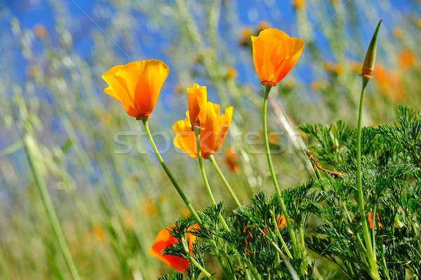 California Poppy And Wild Grasses Stock photo © bendicks