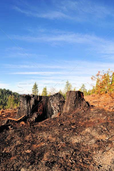 Burnt Tree Stump Stock photo © bendicks