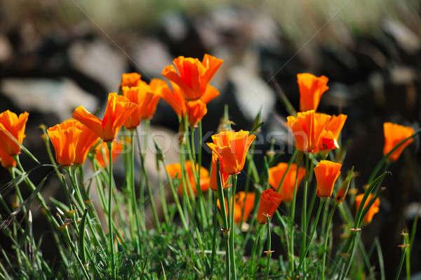 Orange Californie coquelicots vous signe Photo stock © bendicks
