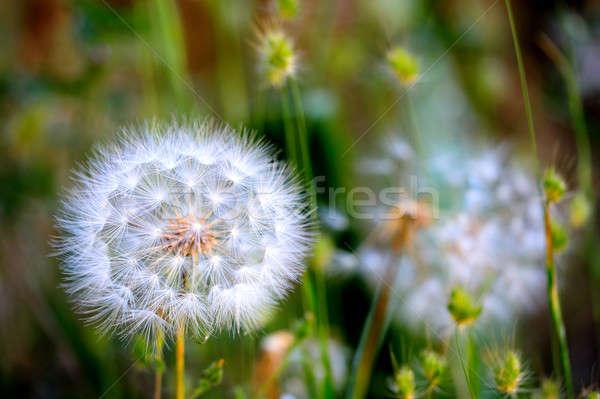Karahindiba detay tohum bağlı Stok fotoğraf © bendicks