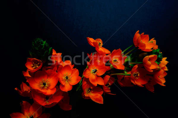 Sun Star - orange perennial flower Stock photo © bendicks