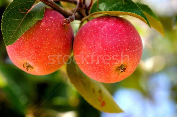 Sweet Apples Stock photo © bendicks