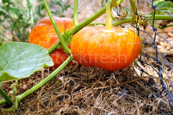 Cinderella Pumpkin Stock photo © bendicks