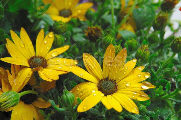 Yellow Flowers And Raindrops Stock photo © bendicks