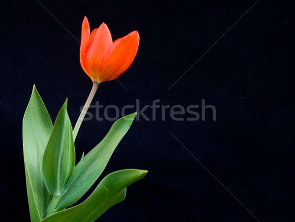 красный Tulip красивой ярко черный цветок Сток-фото © bendzhik
