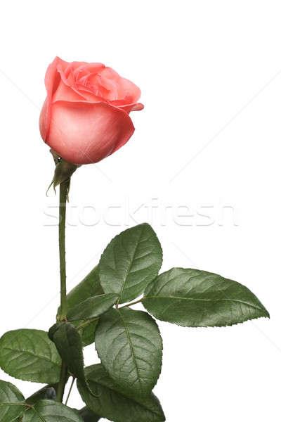 Rose une blanche fleur amour Photo stock © bendzhik