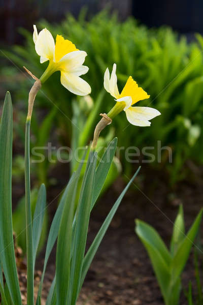 Narcissuses Stock photo © bendzhik
