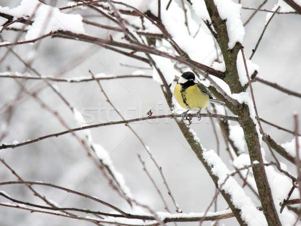Тит филиала дерево глаза природы Сток-фото © bendzhik