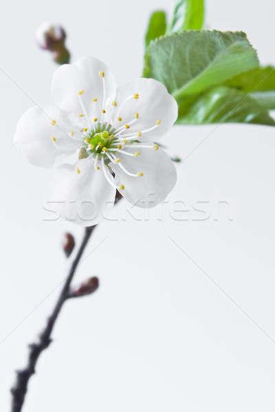 Cerisiers en fleurs belle fleurs floraison cerise blanche Photo stock © bendzhik