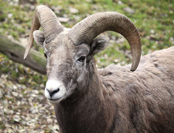 mouflon Stock photo © bendzhik
