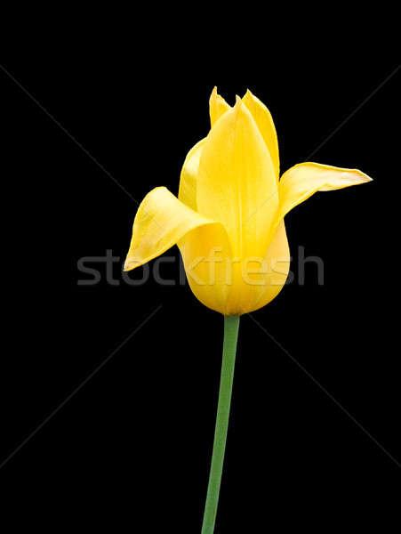 желтый Tulip красивой ярко черный цветок Сток-фото © bendzhik