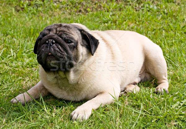 Hondenras gezicht ogen groene honden portret Stockfoto © bendzhik