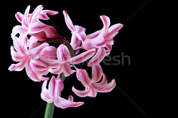 çiçek sümbül güzel parlak siyah güzellik Stok fotoğraf © bendzhik