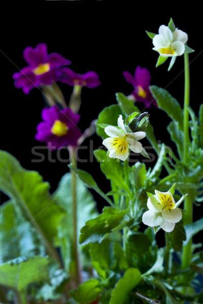 Flores prímula primavera natureza beleza verde Foto stock © bendzhik