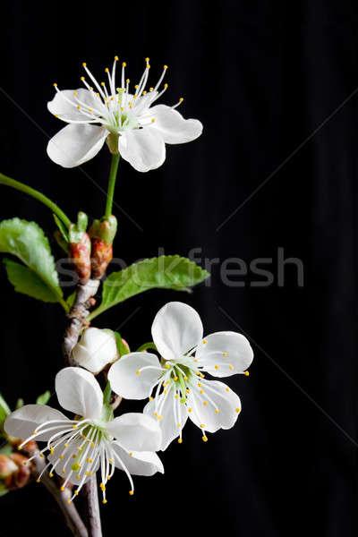 Kiraz çiçeği güzel çiçekler kiraz siyah Stok fotoğraf © bendzhik