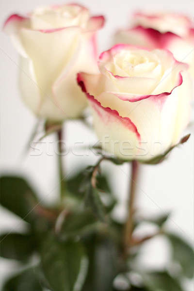 Blanche roses belle sombre rose Photo stock © bendzhik
