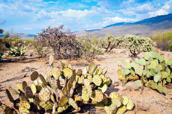 Saguaro National Park Stock photo © benkrut