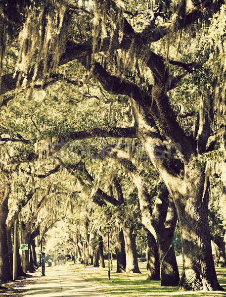Trees in downtown of Savannah Stock photo © benkrut