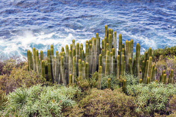 Cacti and Atlantic Ocean Stock photo © benkrut