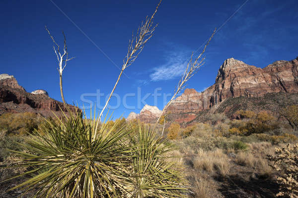 Yucca in Zion National Park Stock photo © benkrut
