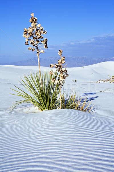 Yucca in White Dunes National Monument Stock photo © benkrut