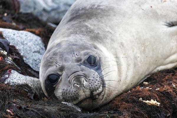 Seal Stock photo © benkrut