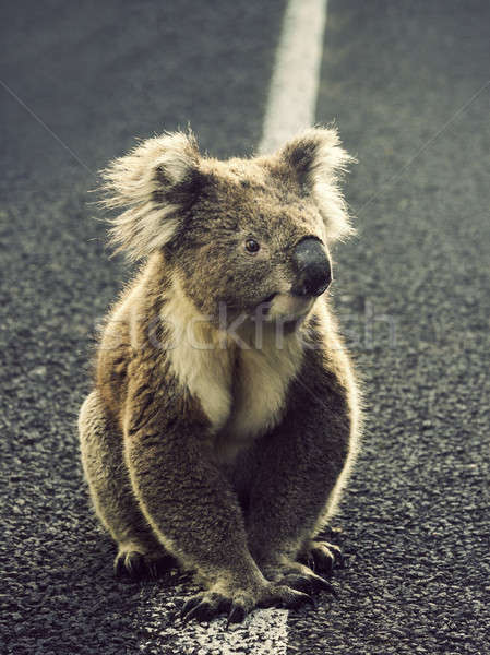 Koala on the road Stock photo © benkrut