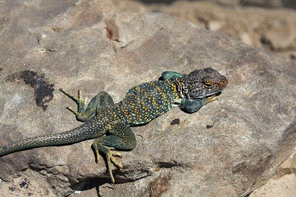 Lagarto colorido Novo México deserto verde pele Foto stock © benkrut