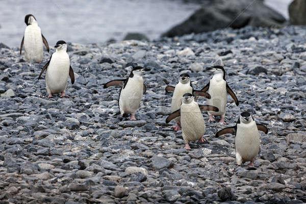 Chinstrap pinguins   Stock photo © benkrut
