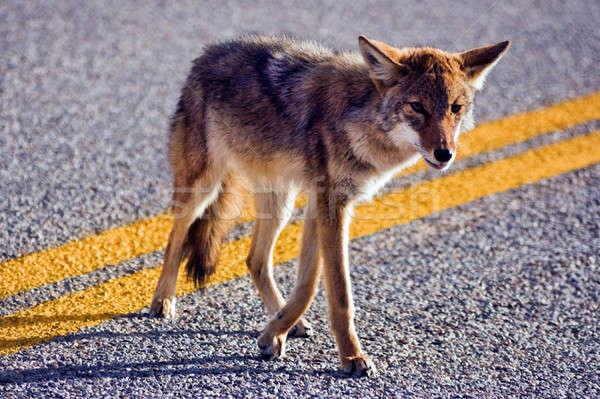 Coyote crossing road Stock photo © benkrut