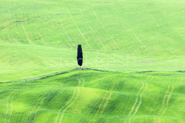 Lone tree in Tuscany Stock photo © benkrut