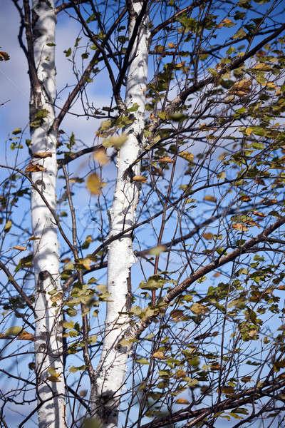 Stock fotó: Wisconsin · nyírfa · citromsárga · levelek · égbolt · fa