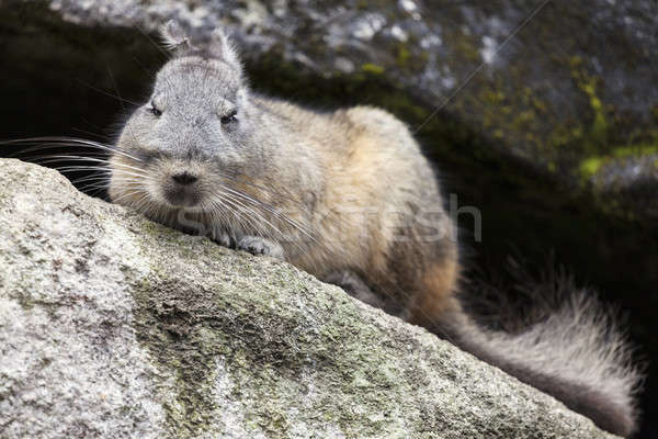 Chinchilla Machu Picchu Voyage Rock animaux Pérou Photo stock © benkrut