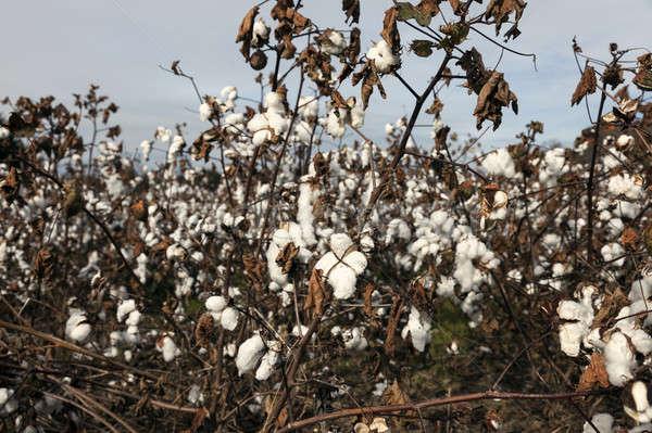 Cotton field in USA Stock photo © benkrut